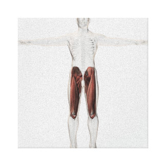 Male Muscle Anatomy Of The Human Legs, Anterior 4 Stretched Canvas Print