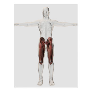 Male Muscle Anatomy Of The Human Legs, Anterior 4 Postcards