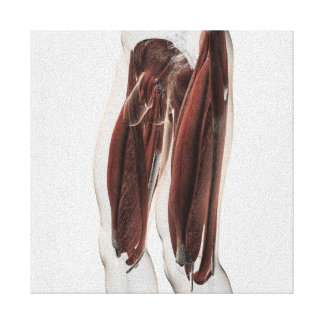 Male Muscle Anatomy Of The Human Legs, Side View Canvas Print