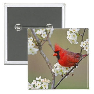 Male Northern Cardinal among pear tree 2 Inch Square Button