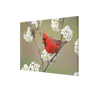 Male Northern Cardinal among pear tree Canvas Print