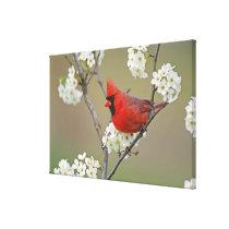 Male Northern Cardinal among pear tree Canvas Print