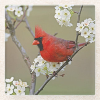 Male Northern Cardinal among pear tree Glass Coaster