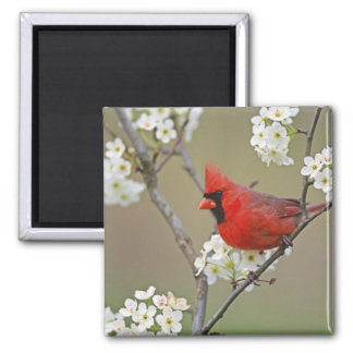 Male Northern Cardinal among pear tree 2 Inch Square Magnet
