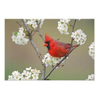 Male Northern Cardinal among pear tree Photo
