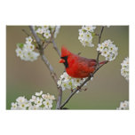 Male Northern Cardinal among pear tree Poster