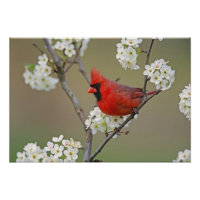Male Northern Cardinal among pear tree Posters