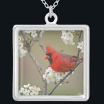 """Male Northern Cardinal among pear tree Silver Plated Necklace<br><div class=""""desc"""">Male Northern Cardinal among pear tree blossoms,  Kentucky,  Cardinalis � Adam Jones / DanitaDelimont.com</div>"""