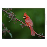 Male Northern Cardinal, Cardinalis Card