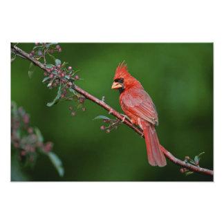 Male Northern Cardinal, Cardinalis Photo Print