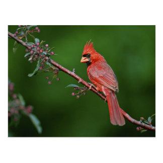 Male Northern Cardinal, Cardinalis Postcard