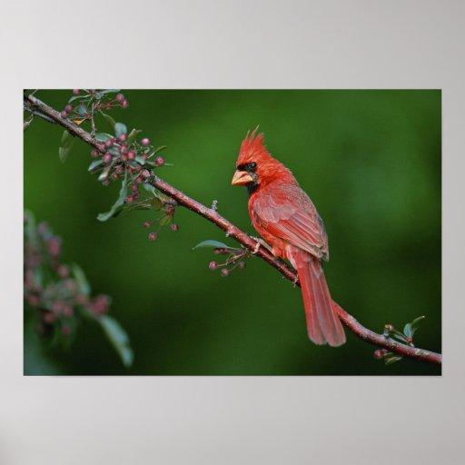 Male Northern Cardinal, Cardinalis Poster