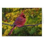 Male Northern Cardinal in autumn, Cardinalis Greeting Card