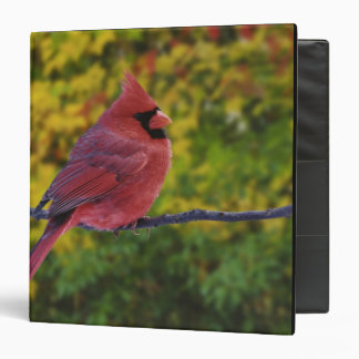Male Northern Cardinal in autumn, Cardinalis Binder