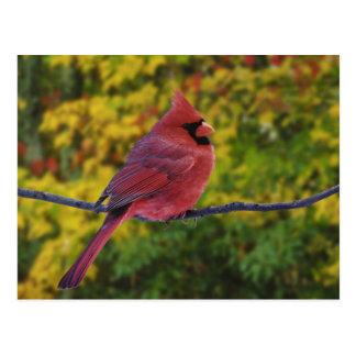 Male Northern Cardinal in autumn, Cardinalis Postcard