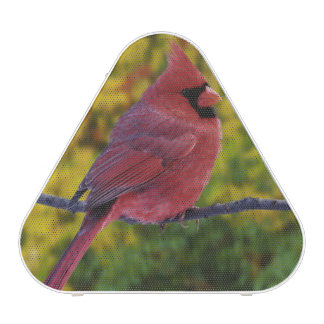 Male Northern Cardinal in autumn, Cardinalis Speaker