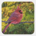 Male Northern Cardinal in autumn, Cardinalis Square Sticker