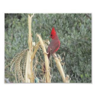 Male Northern Cardinal on Corn Tassel Photo Print