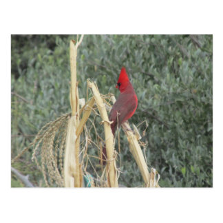 Male Northern Cardinal on Corn Tassel Postcard