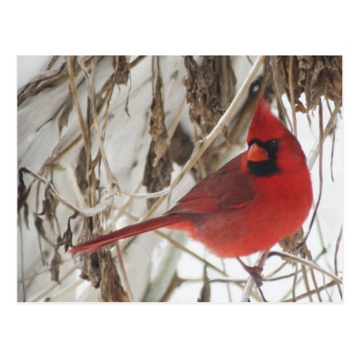 Male Northern Cardinal on Winter Vines Post Card