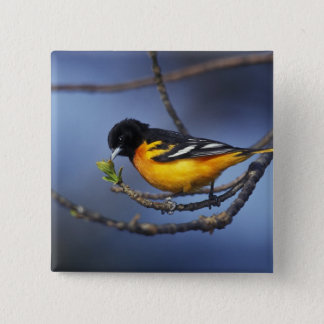 Male Northern Oriole, formerly Baltimore Oriole Button