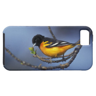 Male Northern Oriole, formerly Baltimore Oriole iPhone 5 Cases
