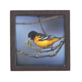 Male Northern Oriole, formerly Baltimore Oriole Gift Box