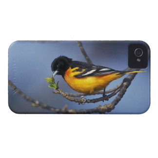 Male Northern Oriole, formerly Baltimore Oriole iPhone 4 Cover