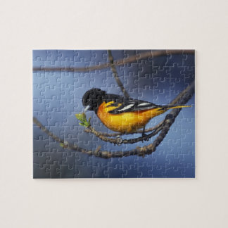 Male Northern Oriole, formerly Baltimore Oriole Jigsaw Puzzle
