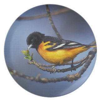 Male Northern Oriole, formerly Baltimore Oriole Dinner Plate
