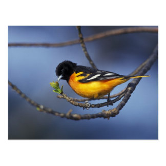 Male Northern Oriole, formerly Baltimore Oriole Postcard