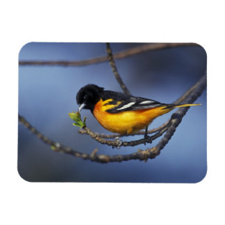 Male Northern Oriole, formerly Baltimore Oriole Rectangular Photo Magnet