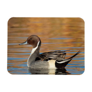 Male Northern Pintail Rectangular Photo Magnet