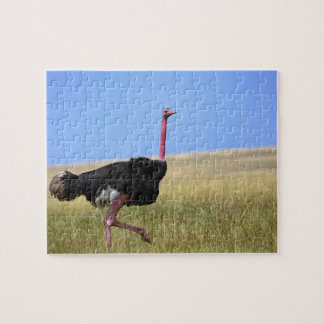 Male Ostrich in breeding plumage, Struthio Jigsaw Puzzle