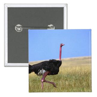 Male Ostrich in breeding plumage, Struthio Pinback Button