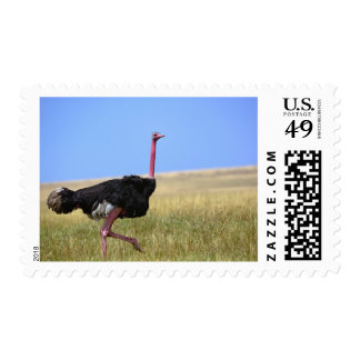 Male Ostrich in breeding plumage Struthio Postage Stamp
