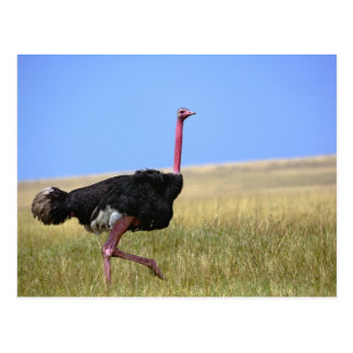 Male Ostrich in breeding plumage, Struthio Post Card