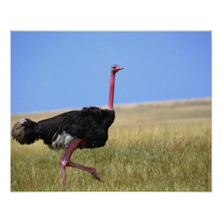 Male Ostrich in breeding plumage, Struthio Poster