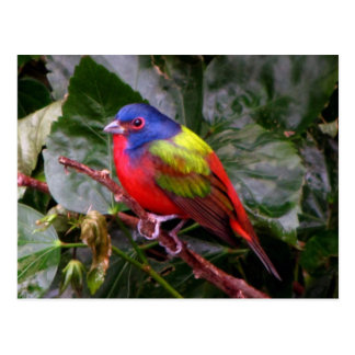 Male Painted Bunting Postcard