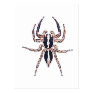 Male Pantropical Jumping Spider Postcard