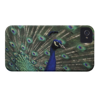 Male peacock displaying feathers for female Case-Mate iPhone 4 case