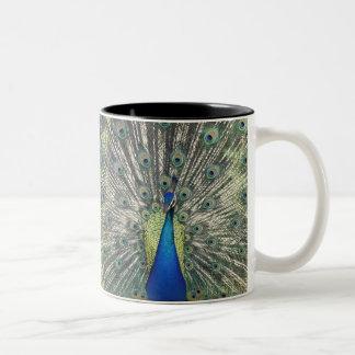 Male Peacock displaying (Pavo cristatus) Mug
