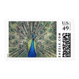 Male Peacock displaying (Pavo cristatus) Postage Stamp