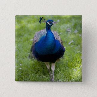 Male peacock (Pavo cristatus) Button