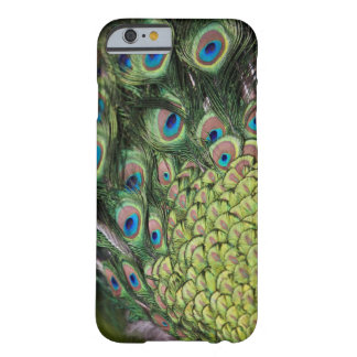 Male peacock (Pavo cristatus) displaying tail Barely There iPhone 6 Case
