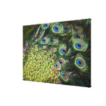 Male peacock (Pavo cristatus) displaying tail Stretched Canvas Prints