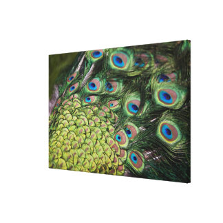 Male peacock (Pavo cristatus) displaying tail Canvas Print