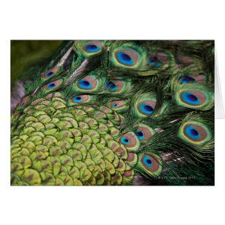 Male peacock (Pavo cristatus) displaying tail Card