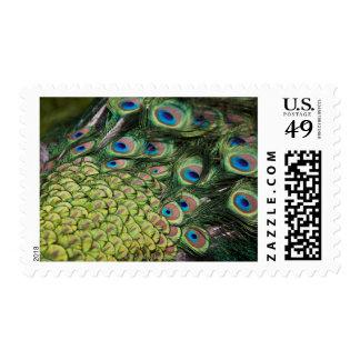 Male peacock (Pavo cristatus) displaying tail Postage Stamp