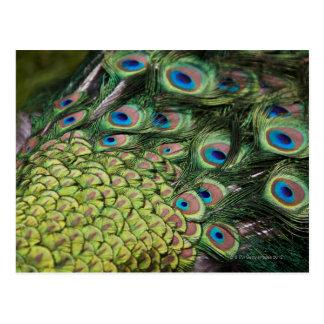 Male peacock (Pavo cristatus) displaying tail Postcard
